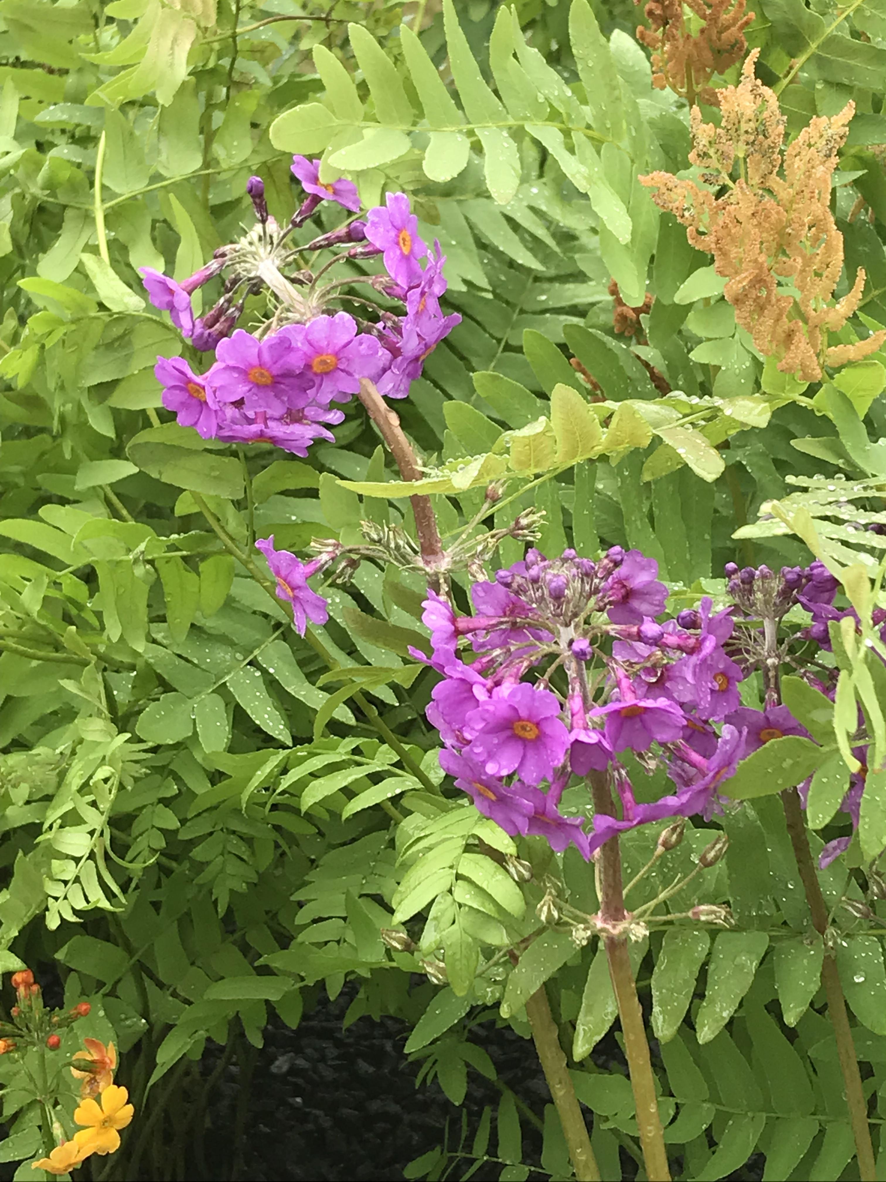 Primula beesiana and Osmunda regalis